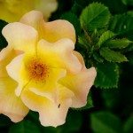 morden-sunrise-rose