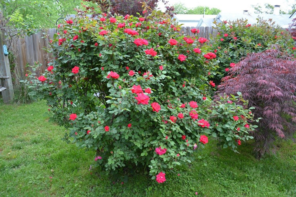 Self Cleaning Roses Roses That Deadhead Themselves