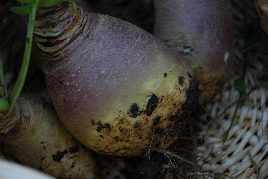 Tips for harvesting rutabaga and storing rutabagas - Garden state orthopedics fair lawn ...