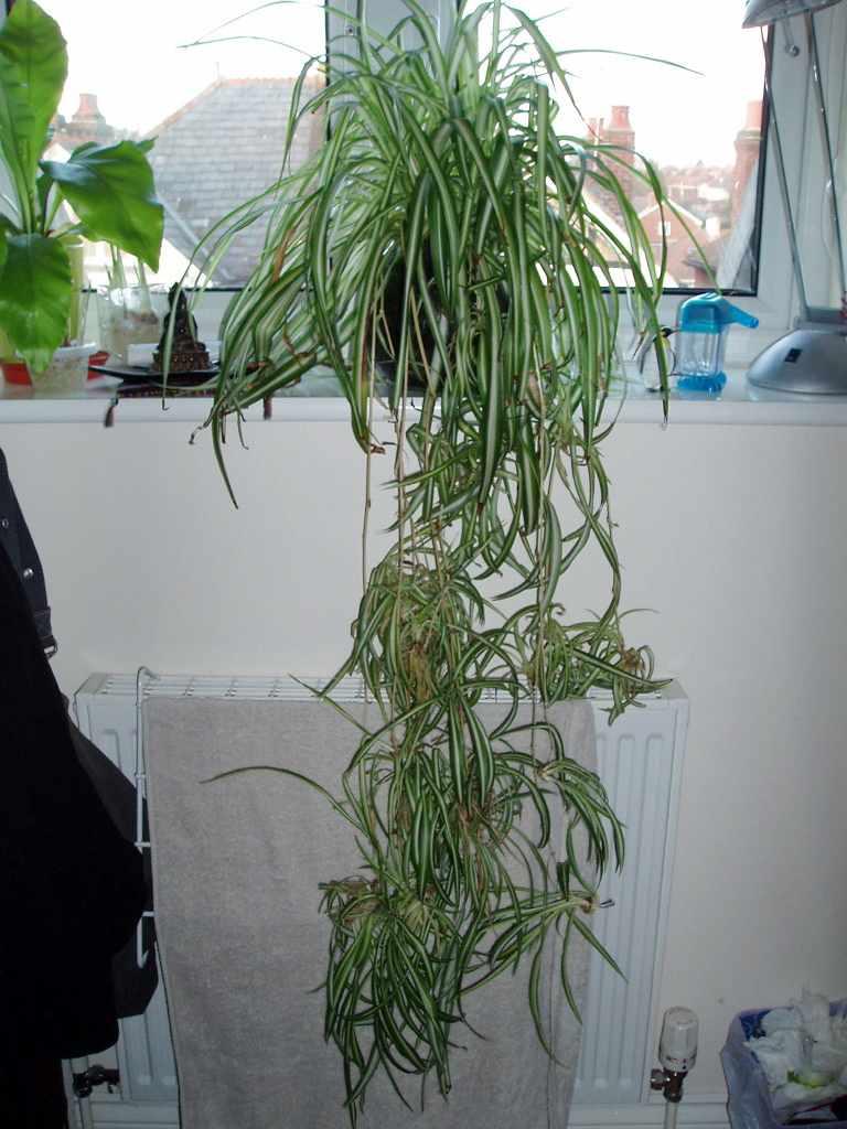 trimming spider plant leaves how to prune a spider plant. Black Bedroom Furniture Sets. Home Design Ideas