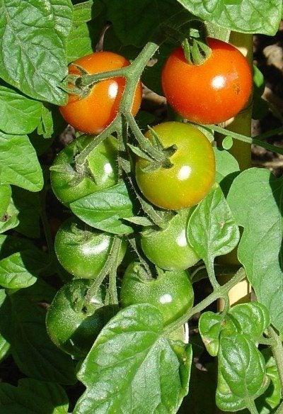 Fertilizing Tomatoes: Tips For Using Tomato Plant Fertilizer