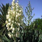 yucca-plant