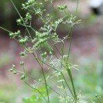 bolting cilantro