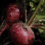 cherry-belle-radish