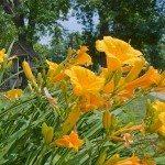 daylily-flowers