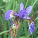 iris-plant