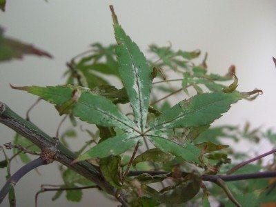 Asian elm tree diseases