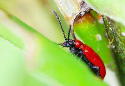 lily-leaf-beetle