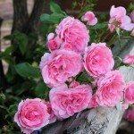 rose-fence