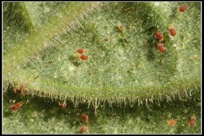 spider-mites-400x266 Webs On Houseplants on