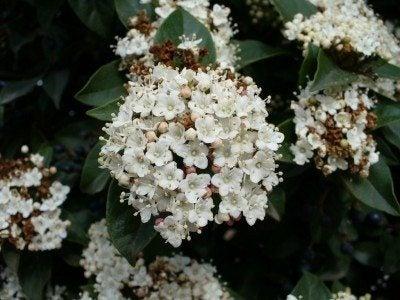viburnum-flower