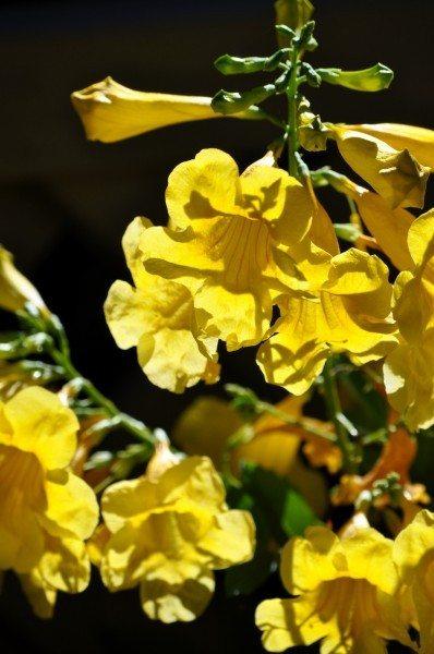 Esperanza flowers