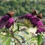 butterfly-bush-plant
