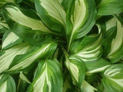 Growing Hostas How To Care For A Hosta Plant