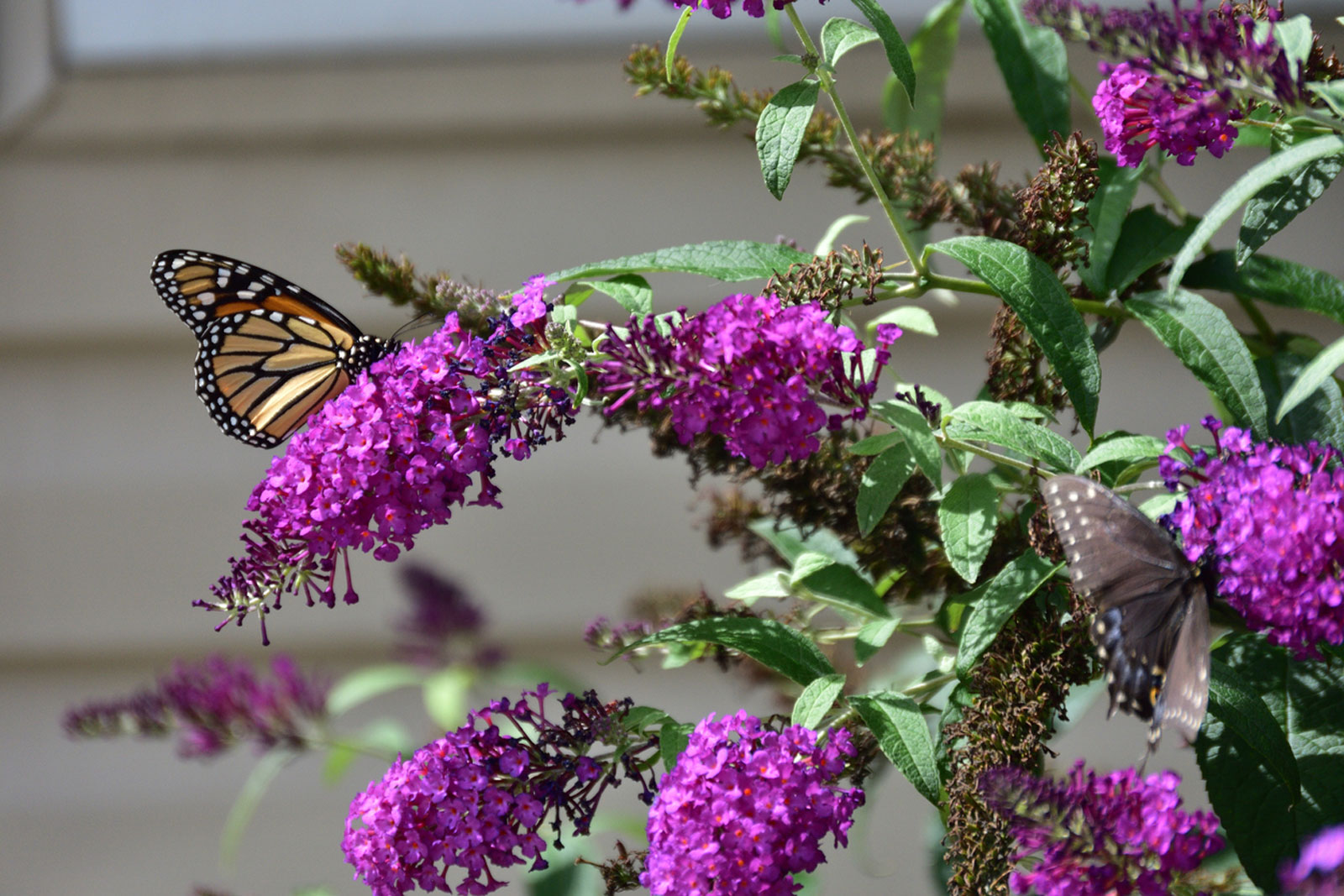 Butterfly Bush Varieties Pruning And Maintenance Gardensall
