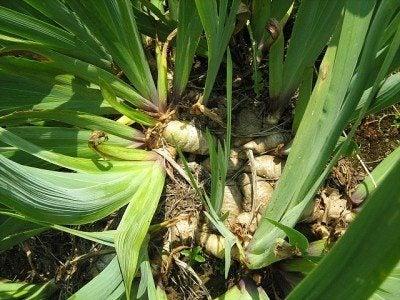iris-rhizomes