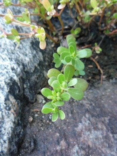 purslane-herb