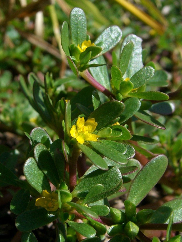 The 6-Minute Rule for Planting Purslane Seeds