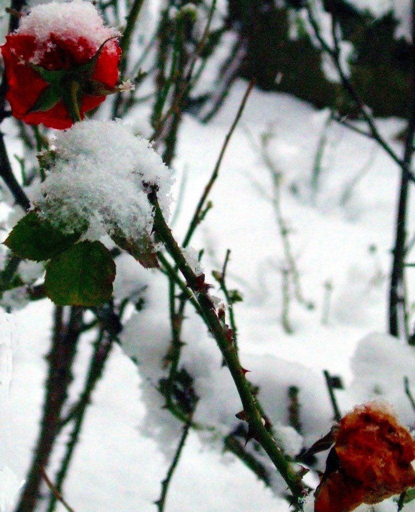 Roses Winter Care Preparing Roses For Winter