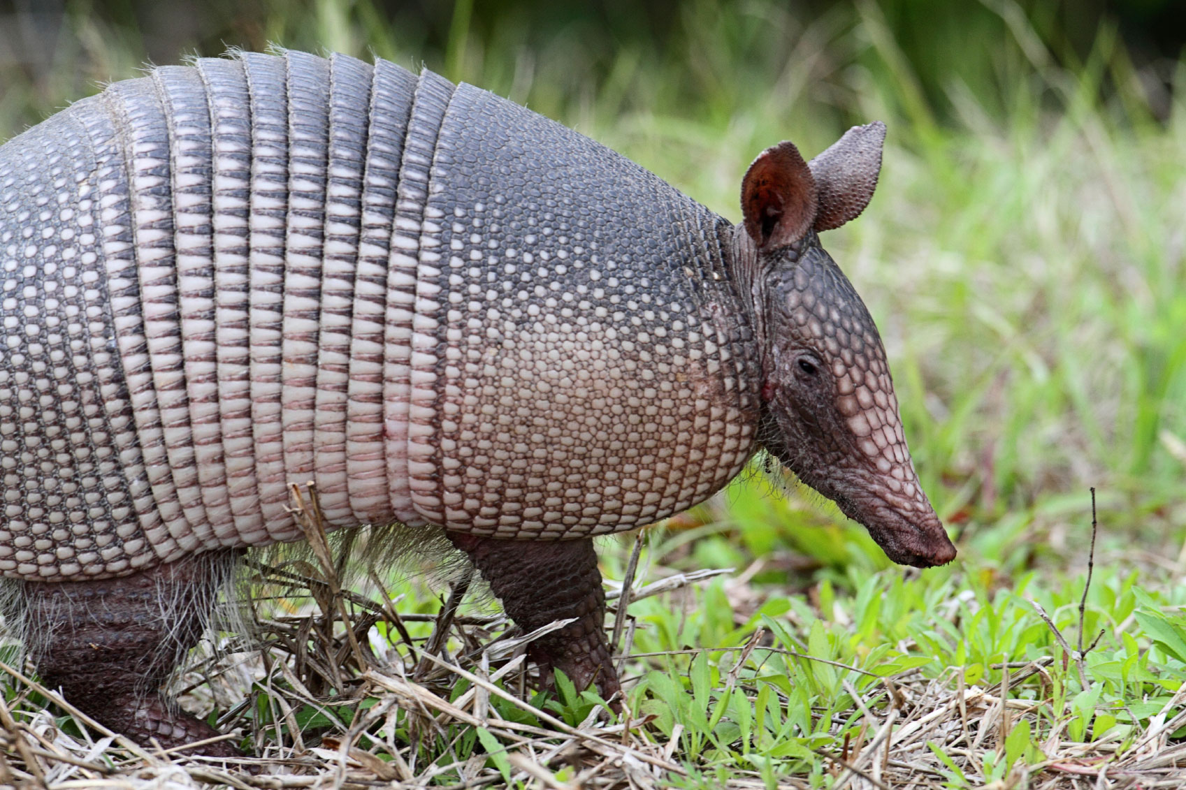 Armadillo Control How To Get Rid Of