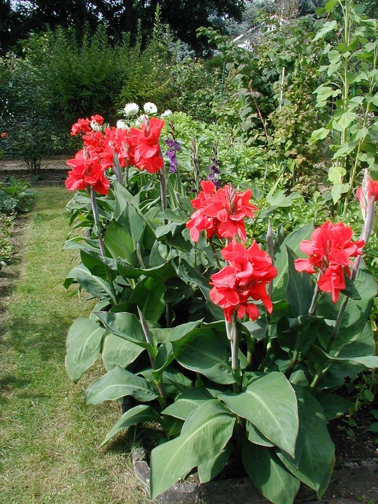 Canna lilies tips for planting and growing cannas izmirmasajfo