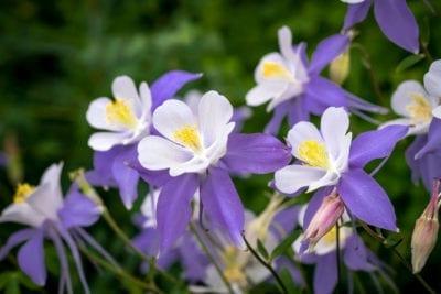 Growing Columbine Flower How To Care For Columbine