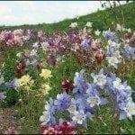 columbine-flowers