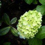 green-hydrangeas