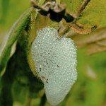 Cocoon Of Froghopper, Spittlebug Larvae, Cuckoo Spit