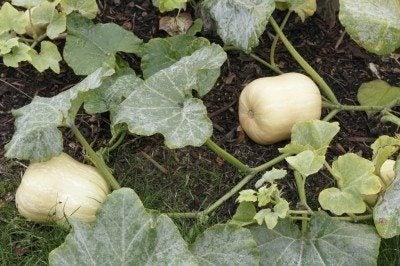Butternut Squash Plant