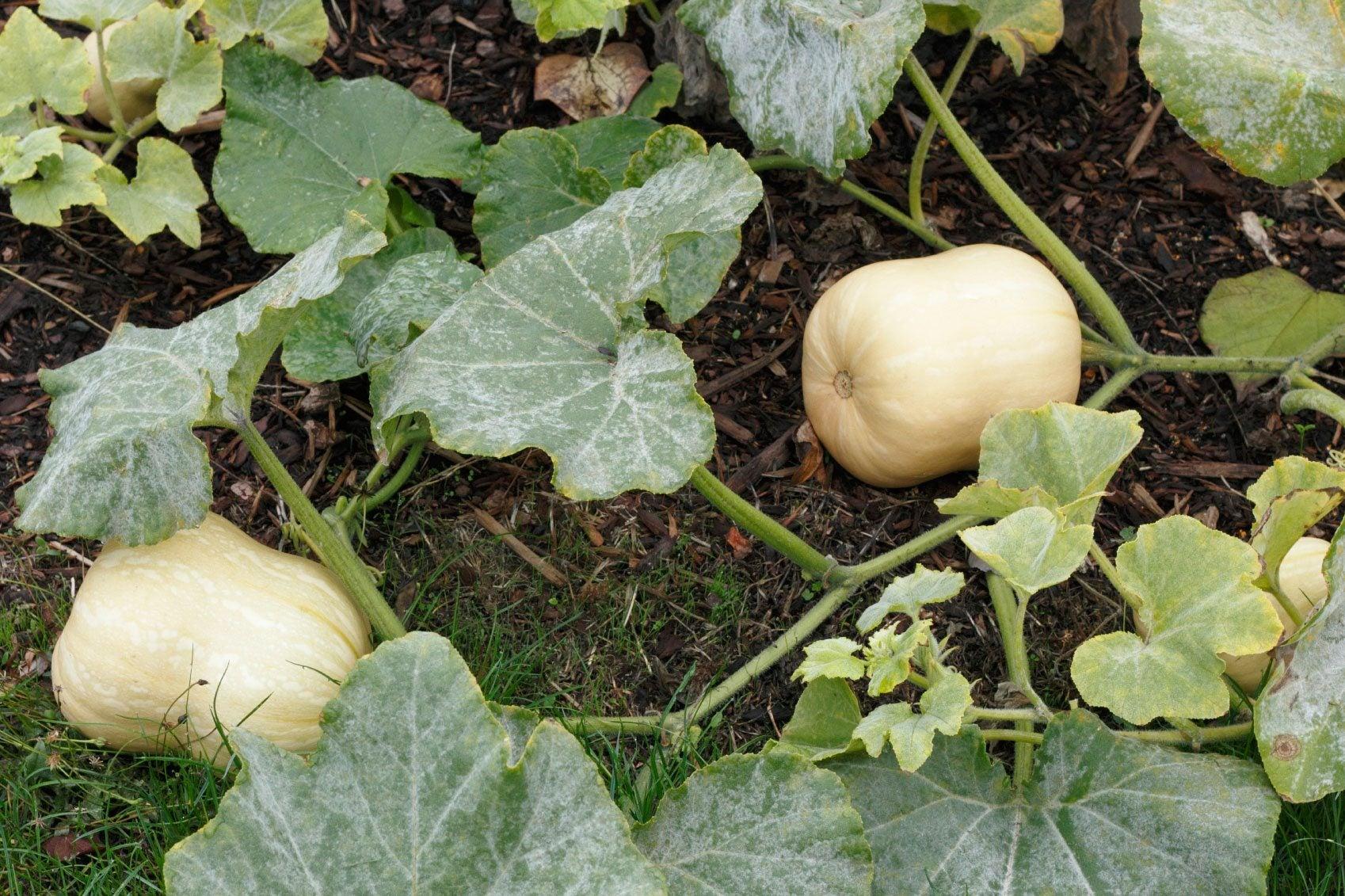 Planting squash