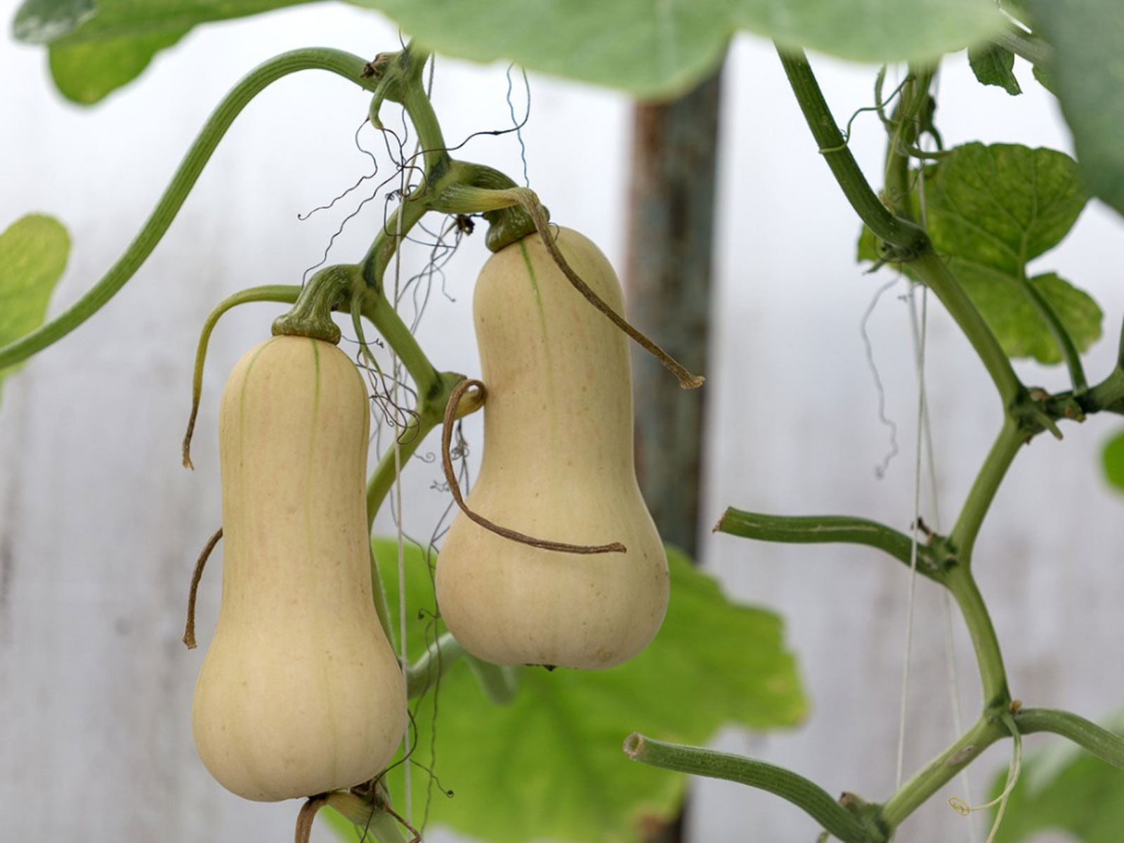 Growing Butternut Squash How To Grow Butternut Squash Plants
