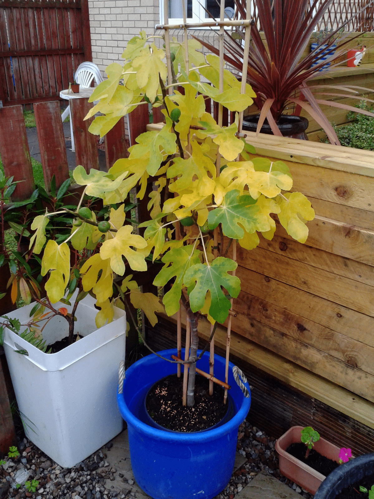 Yellow Fig Leaves Why Are Turning
