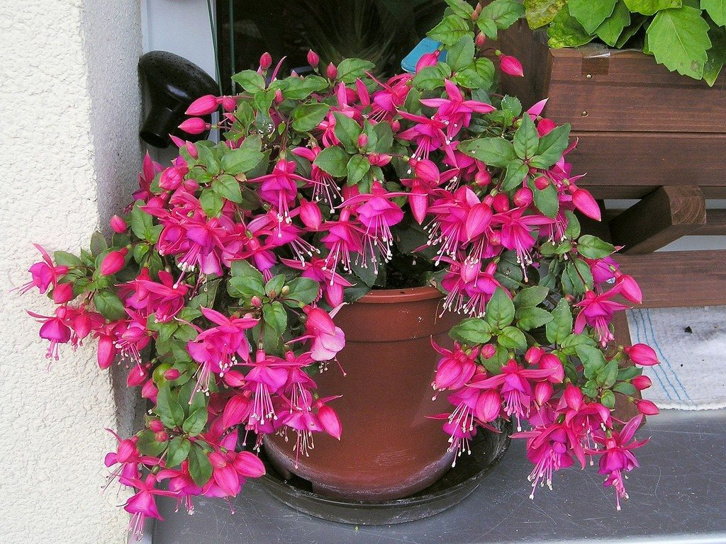 Fuchsia Wont Flower: How To Get Fuchsia To Blossom