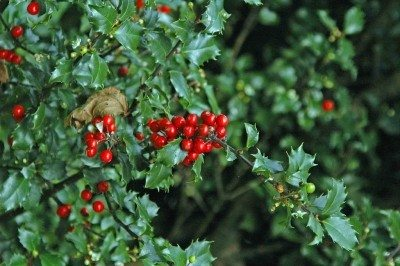 Growing Holly Bushes How To Grow And Care Of Holly Bushes