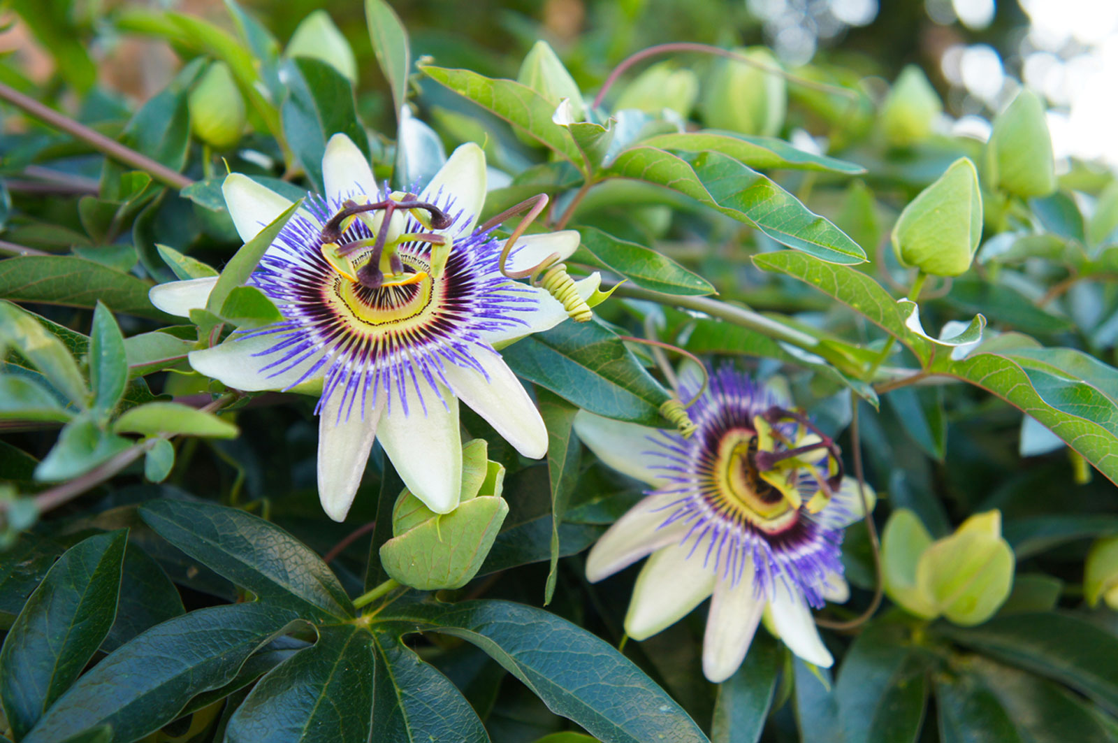 Propagating Passion Flower How To Propagate Passion Flowers