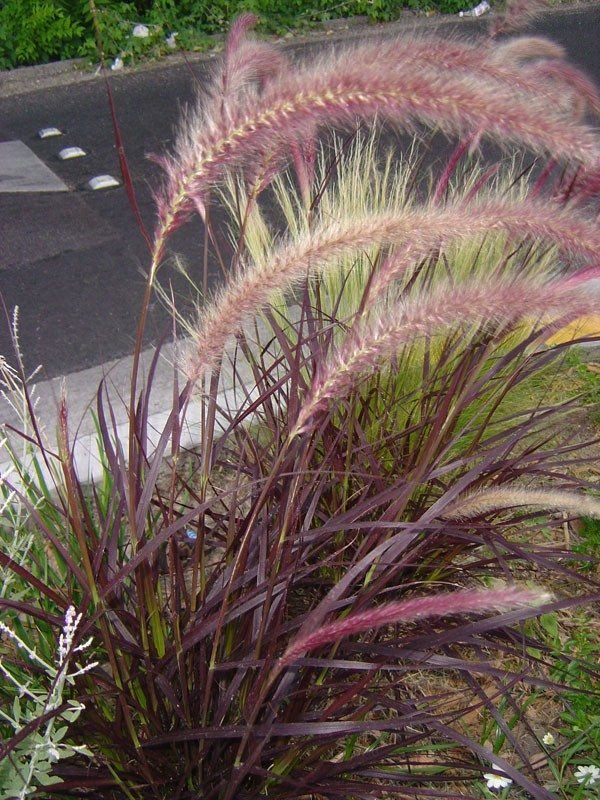 Care of purple fountain grass how to grow purple fountain for Grass bushes landscaping