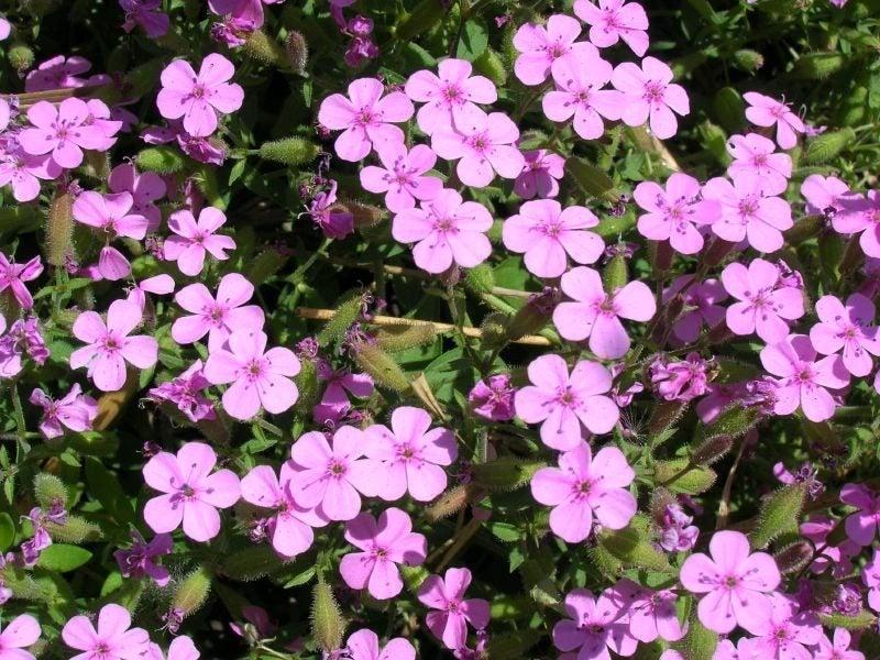Soapwort plant how to grow soapwort groundcover for Plants to grow in garden