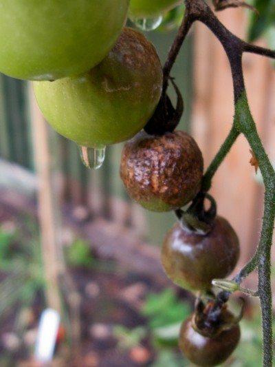 Tomato Blight 2010