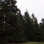 western-hemlock-trees