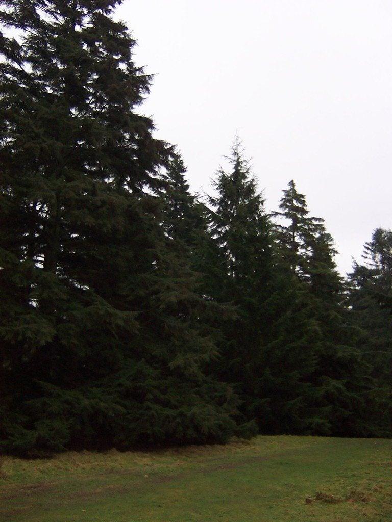 Hemlock Pruning Tips For Trimming Hemlock Trees