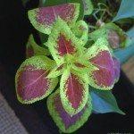 coleus-houseplant