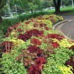 coleus-plants