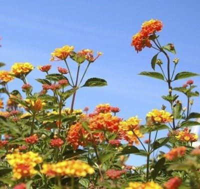 Pruning Lantanas How To Prune Lantana Plants