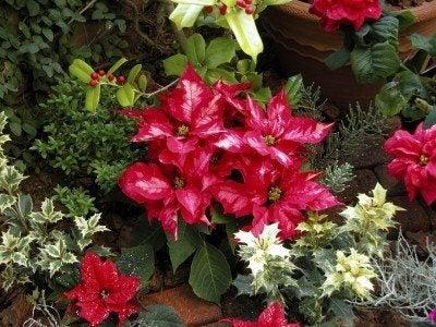 Care Of Christmas Plants