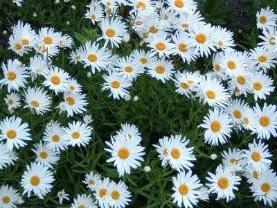 shasta-daisy-flowers