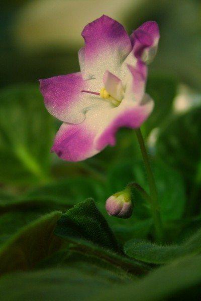 african-violet-flower