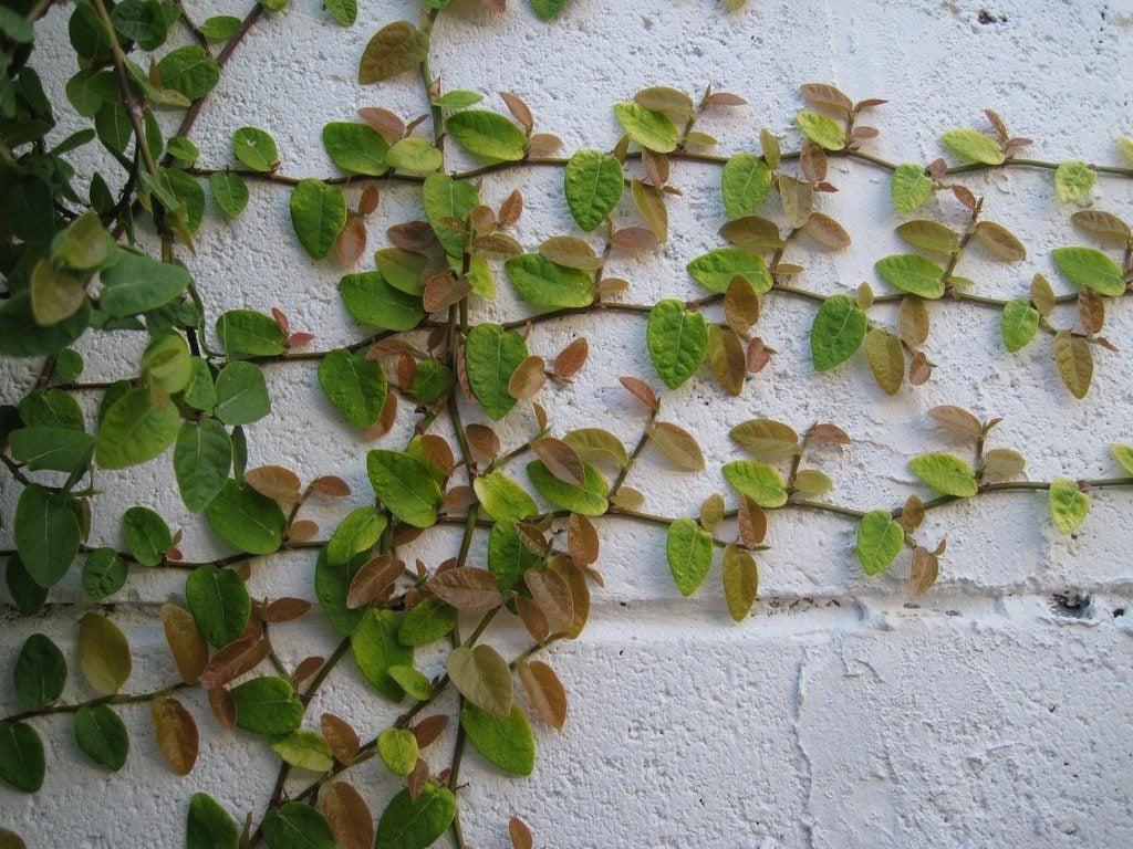 Creeping fig vine growing creeping fig in the garden and home - Plantas trepadoras para muros ...