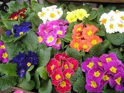 the primrose houseplant how to grow primrose indoors