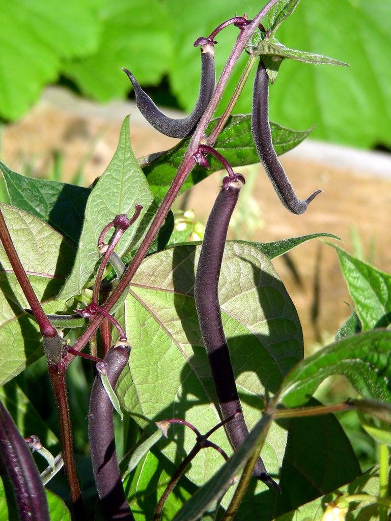 Beans Plant Planting Bush Beans – How to